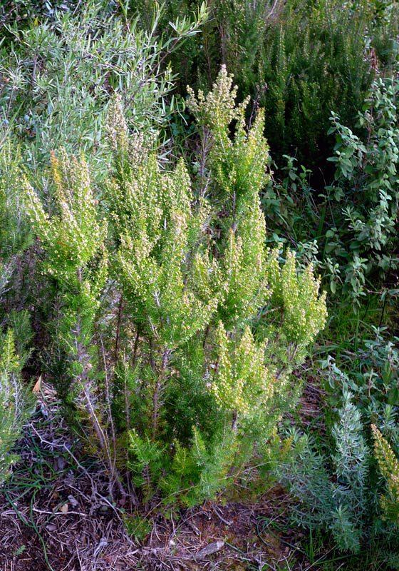 Erica-arborea1W