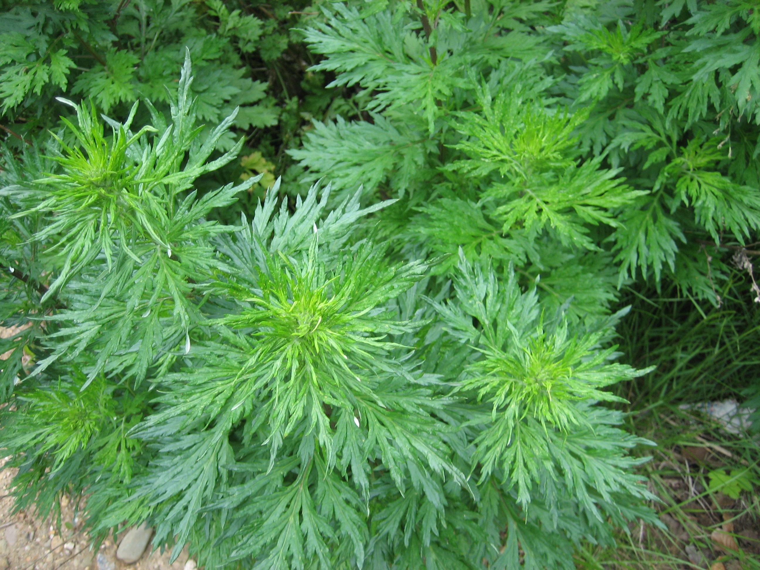 armoise-commune-artemisia-vulgaris-l