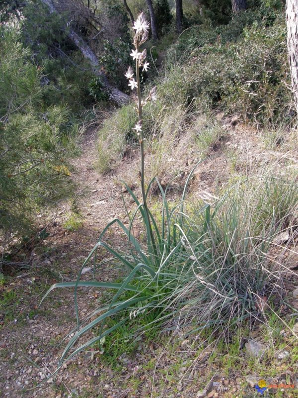 Asphodèle à petits fruits, Asphodelus ramosus