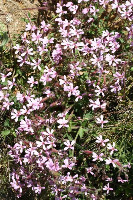 Saponaire faux basilic, Saponaria ocymoides L.
