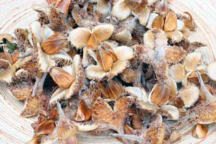 Hêtre, Fagus sylvatica, graines
