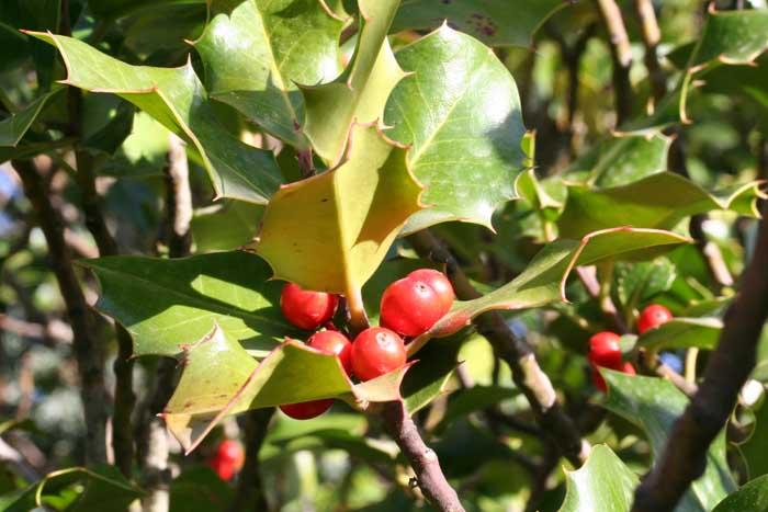 Houx, Ilex aquifolium, L.