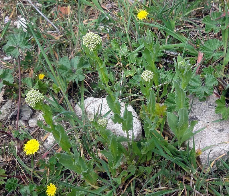Pain blanc, Lepidium draba L.
