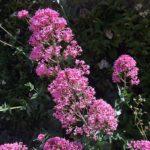 Valériane rouge, Centranthus ruber L.