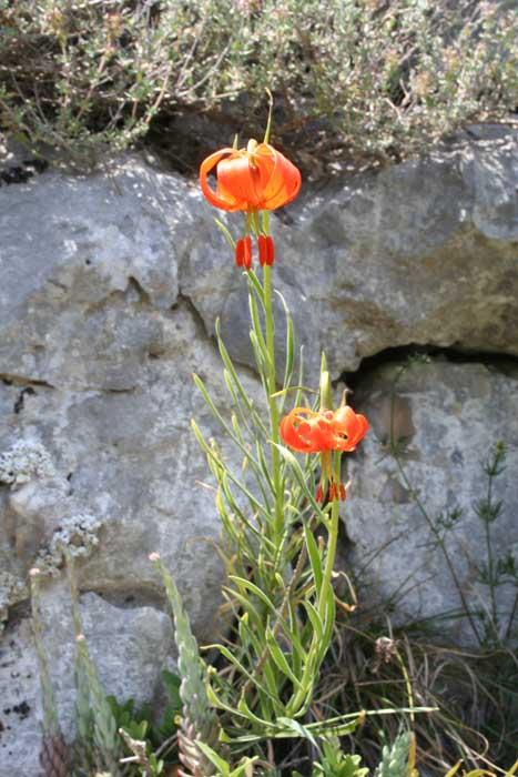 Lis de Pompone, Lilium pomponium L. 467x700