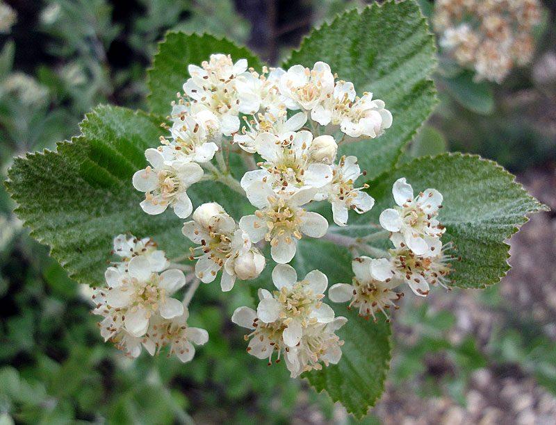 Alisier blanc, Sorbus aria