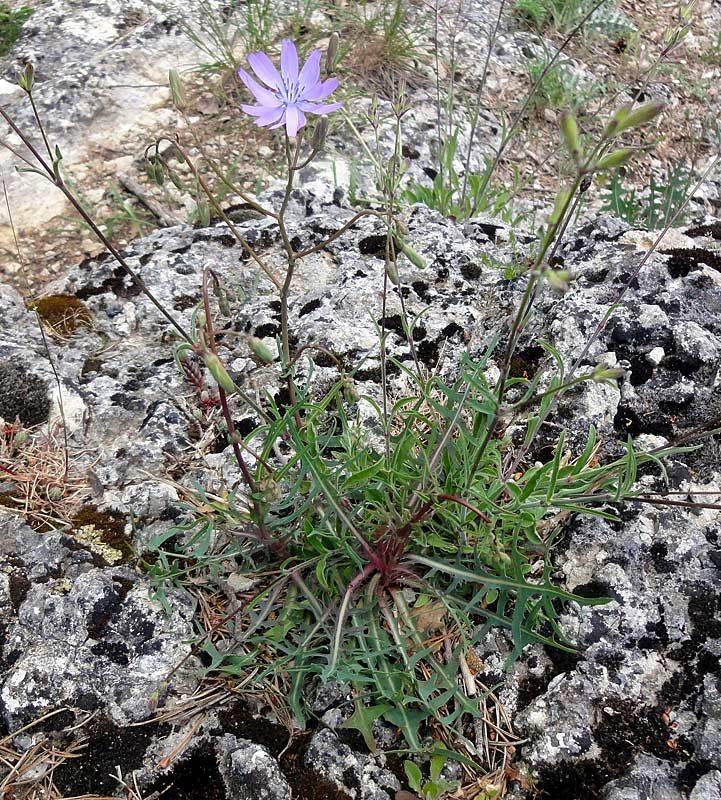Laitue-vivace-Lactuca-perennis-3W