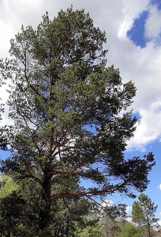 Pin-sylvestre-Pinus-sylvestris-L2W