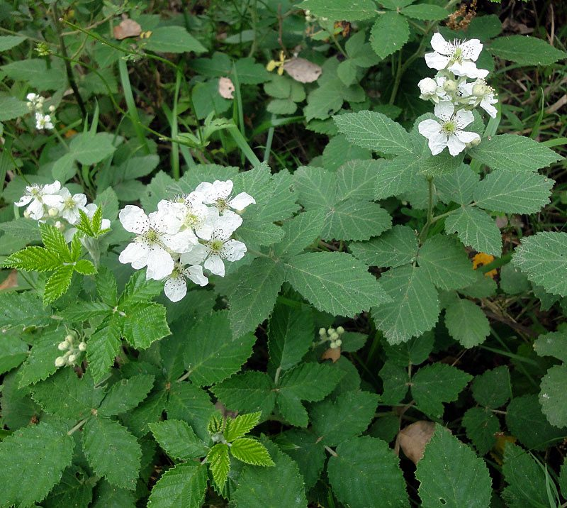 Ronce-blanche-Rubus4W