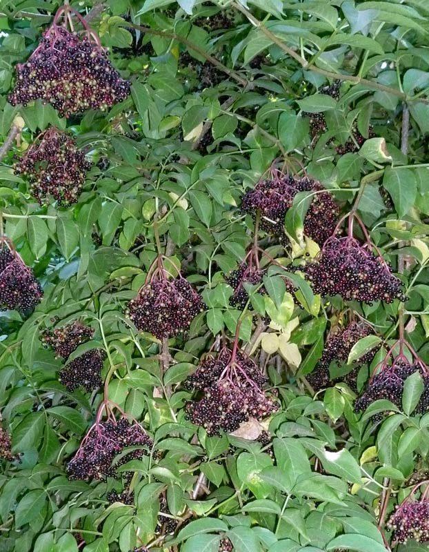 Sureau noir, Sambucus nigra