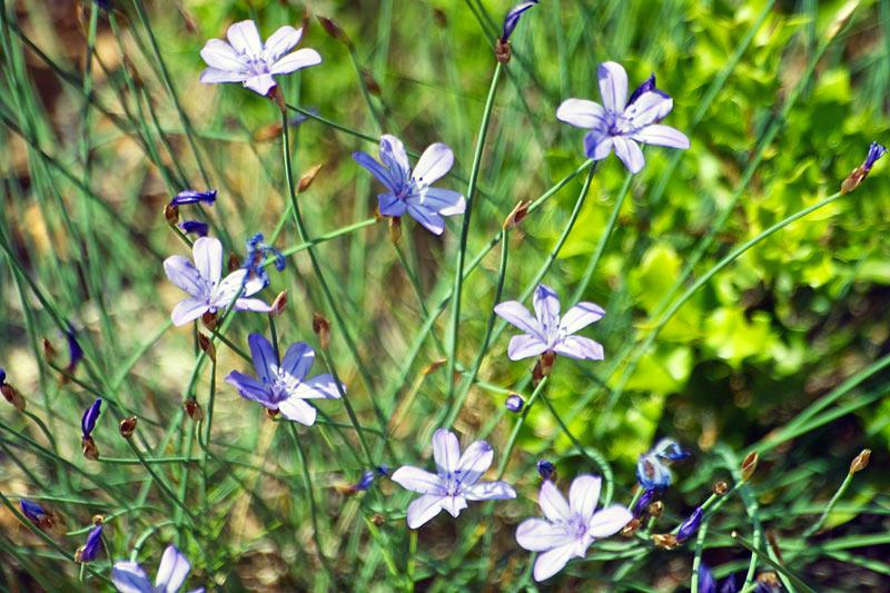Aphyllante de Montpellier, Aphyllanthes monspeliensis L.