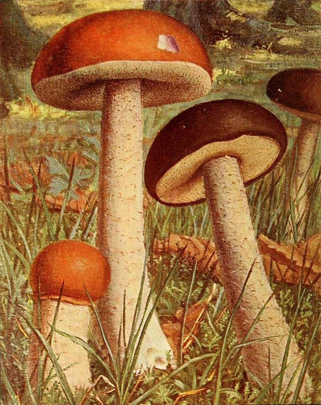Bolet rude, Leccinum scabrum, ex boletus scaber bolet scaber