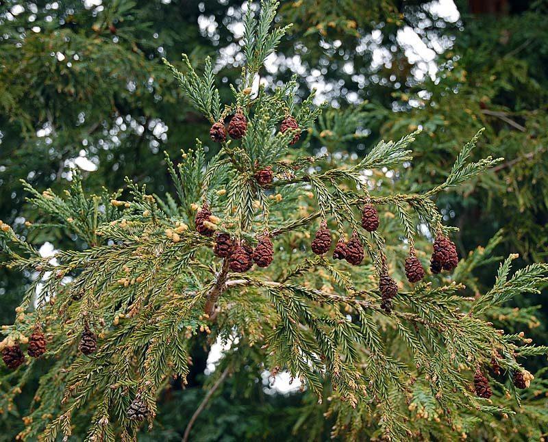 Séquoia à feuilles d'If, Sequoia sempervirens