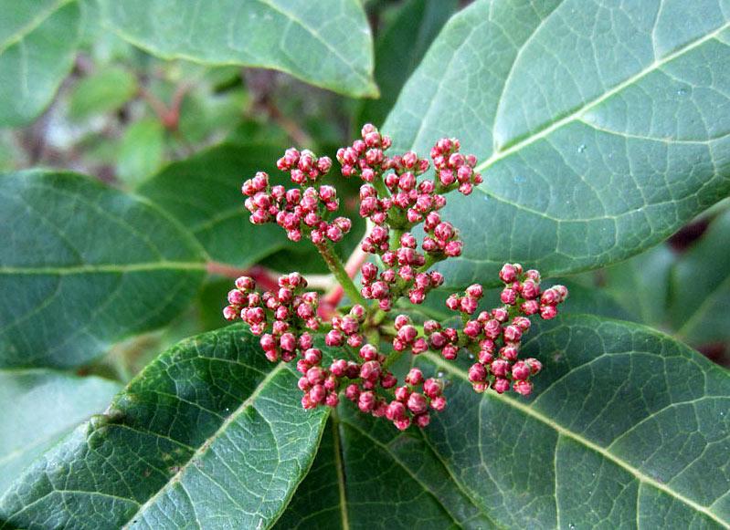 Laurier tin, Viburnum tinus