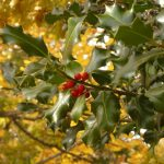 Houx, Ilex aquifolium
