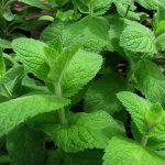 Menthe à feuilles rondes, Mentha-suaveolens