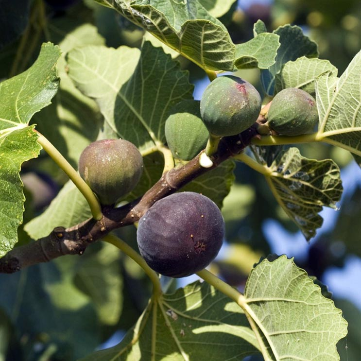 Figuier, Ficus carica, Violette de Sollies