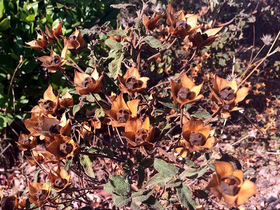 Ciste à feuilles de sauge, Cistus salviifolius