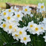 Narcisse de poetes, Narcissus poeticus-L.