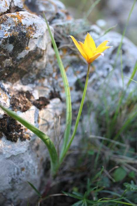 Tulipe sauvage, Tulipa sylvestris L.