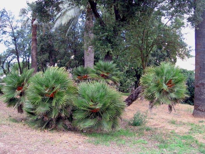 Palmier nain, Chamaerops humilis