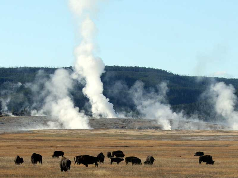 Des bisons dans le volcan Yellowstone