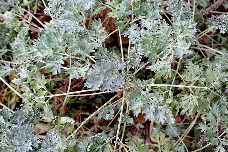 Absinthe, Artemisia absinthium-L.