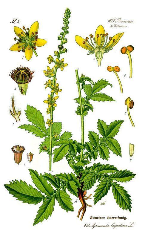 Aigremoine eupatoire, Agrimonia eupatoria L.