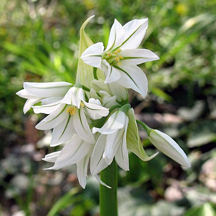Ail à trois angles, Allium triquetrum L.
