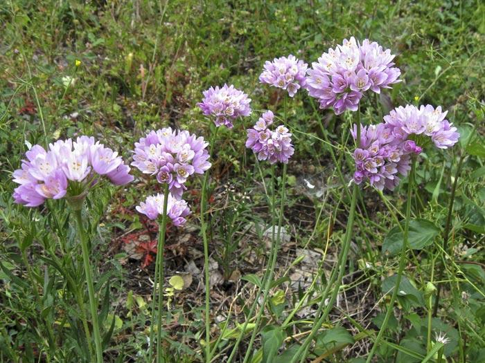 Ail rosé, Allium roseum L.