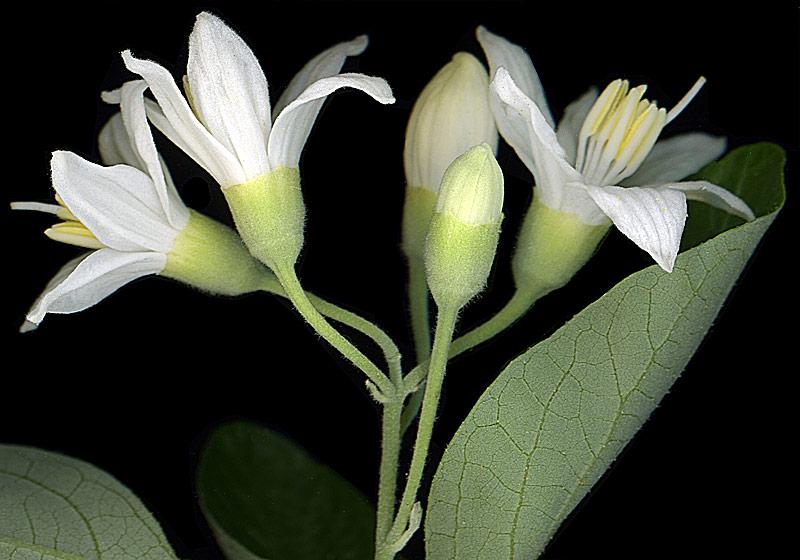 Aliboufier, Styrax officinalis L.