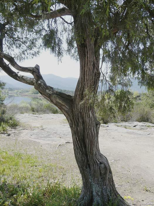 Genévrier cade, Juniperus oxycedrus L., arbre.