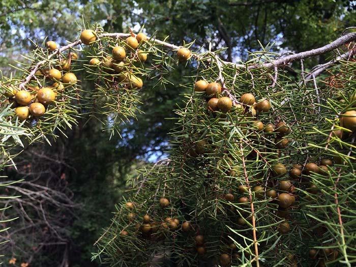 Genévrier cade femelle, Juniperus-oxycedrus L.