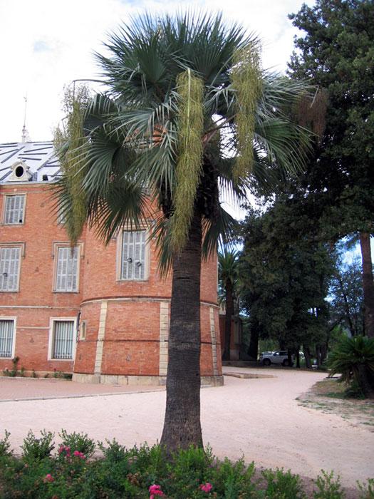 Brahea edulis. Parc du château, Solliès-Pont