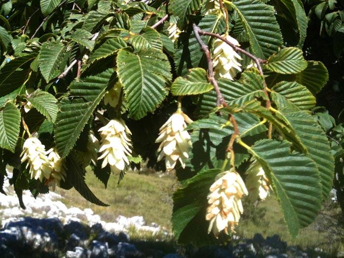 Charme Houblon, ostrya carpinifolia