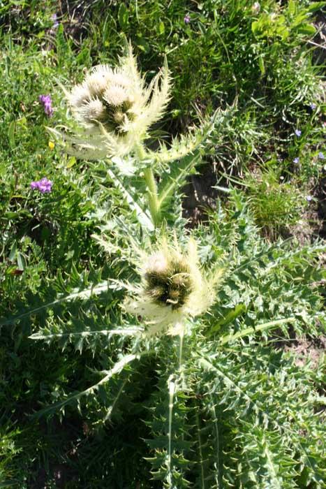 Cirse épineux, Cirsium spinosissimuml, scop 2