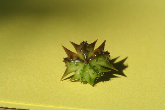Croix de Malte, Tribulus trerrestris L.