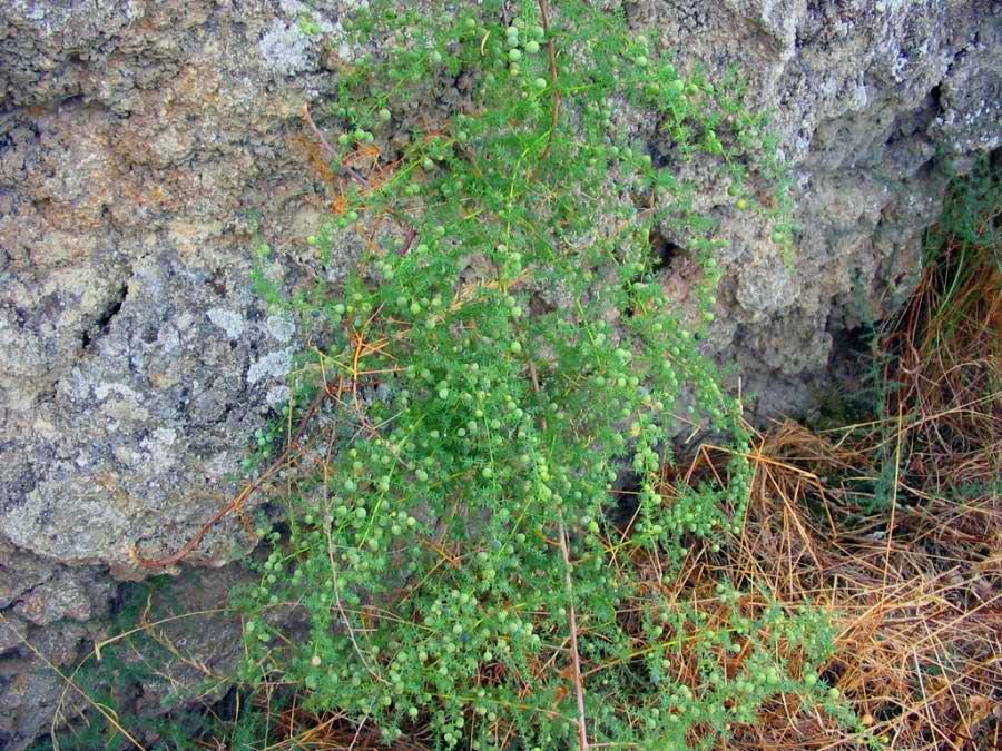 Asperge sauvage, Asparagus acutifolius L.