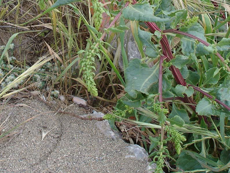 Betterave maritime, Beta vulgaris ssp maritima L. arcang