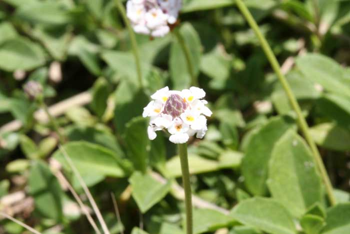 Erba Luigia americana, Phyla filiformis