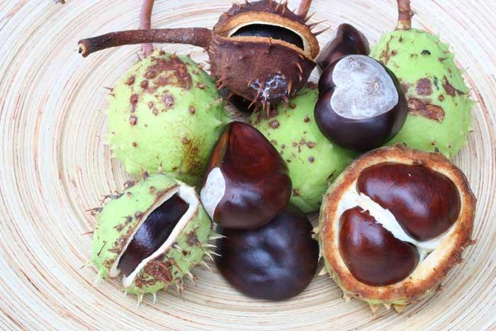 marronnier-dinde-fruits-aesculus-hippocastanum-l