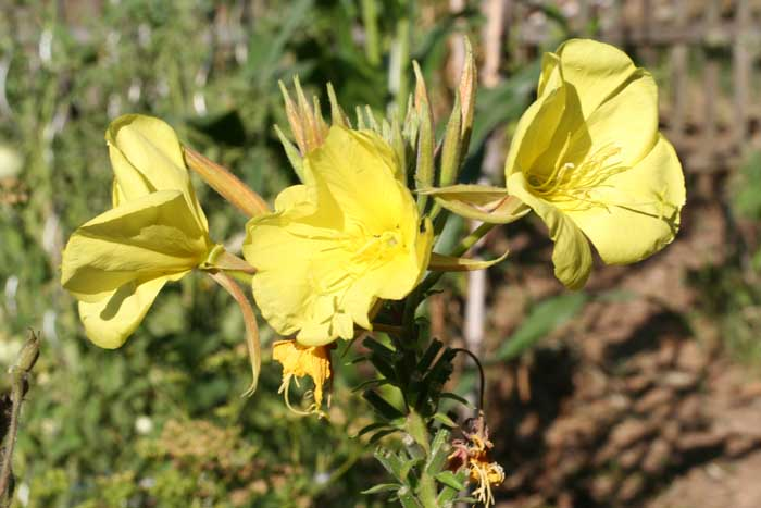 Onagre bisannuelle, Oenothera biennis L.