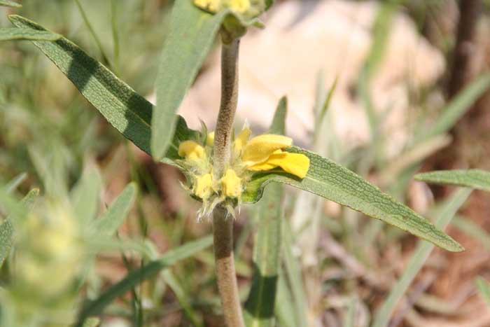 Phlomys lychnite, Phlomis lychnitis L.