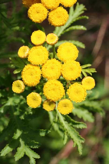 Tanaisie, Tanacetum vulgare L.