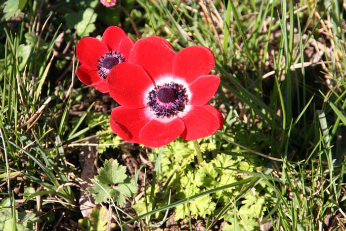 Anémone des fleuristes, Anemone coronaria L.