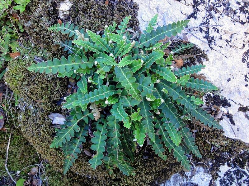 Cétérach officinal, Asplenium ceterach L.