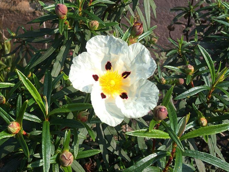 Ciste ladanifère, Cistus ladanifer L.