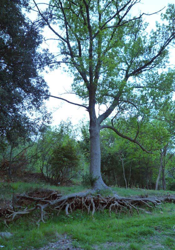 Fraxinus-angustifolia-3