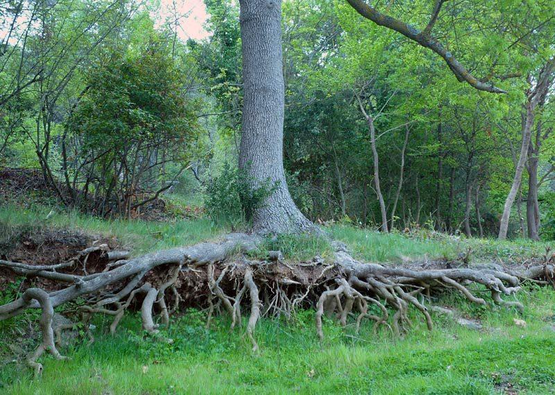 Fraxinus-angustifolia