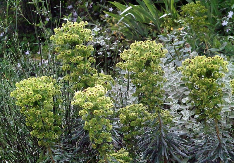 Euphorbe characias, Euphorbia characias L.